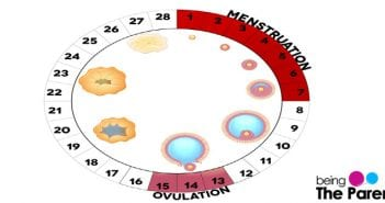 ovulation in a cycle