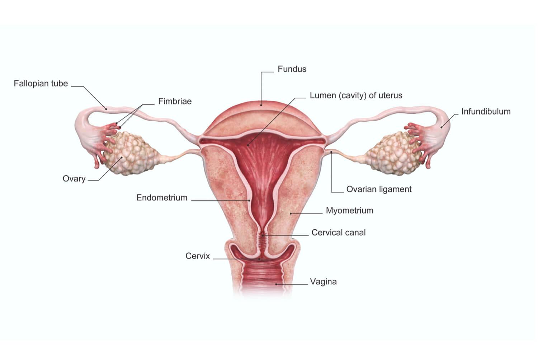 Normal  Endometrium Thickness In Pregnancy