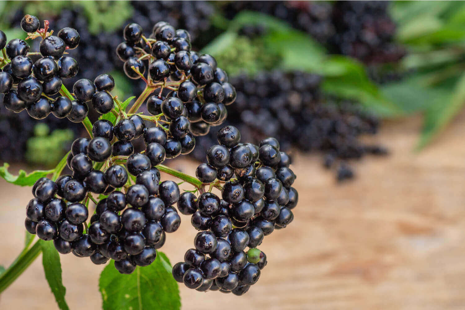 Elderberry for Children – Benefits And Side Effects